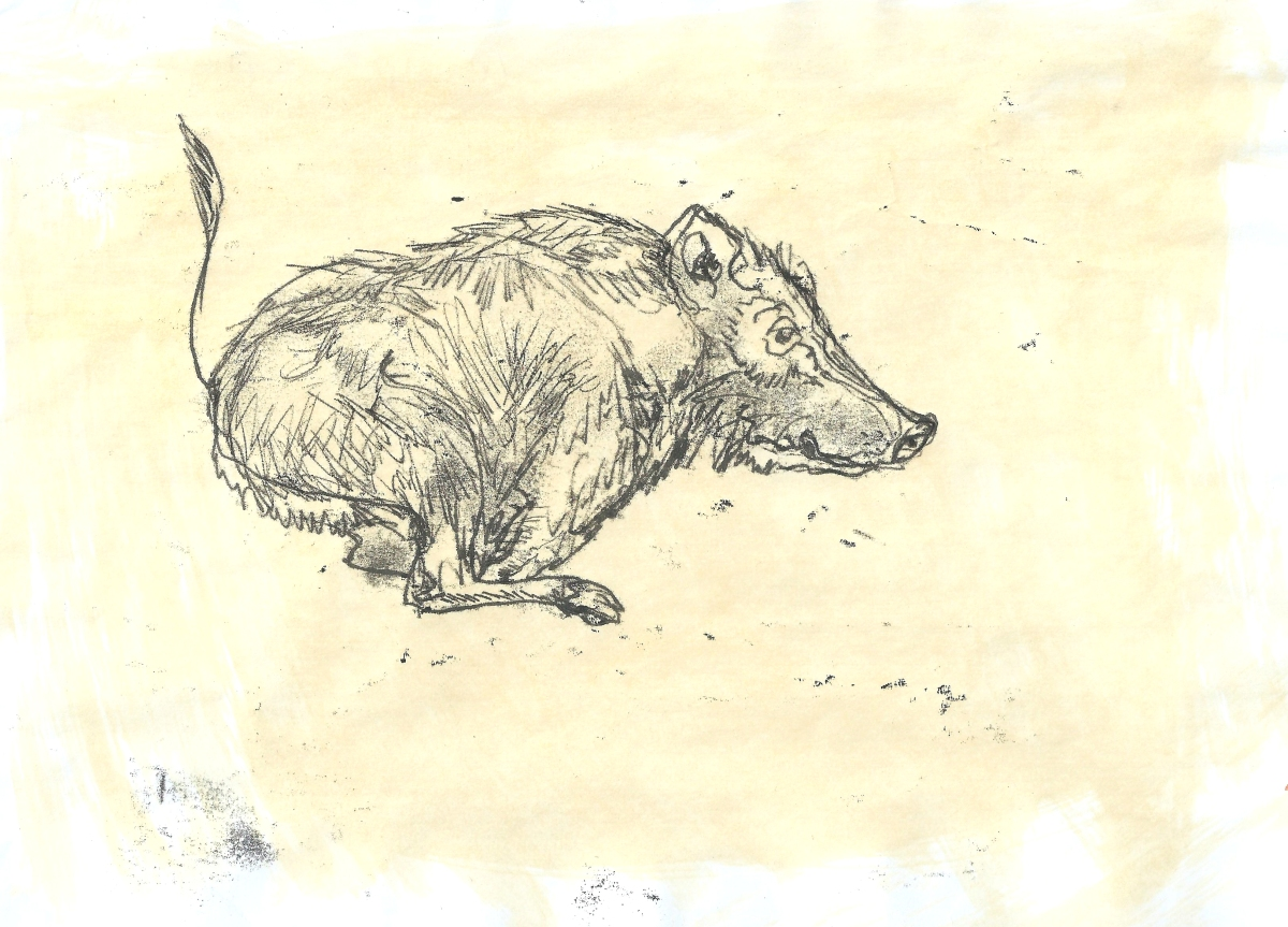 A drawing of a boar on the run by artist Jilly Cobbe