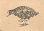 Drawing of a Coot by artist Jilly Cobbe