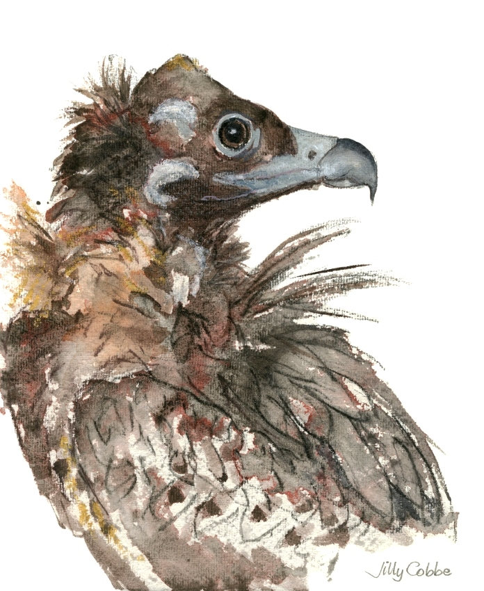 Painting of an Eurasian Black Vulture by Artist Jilly Cobbe
