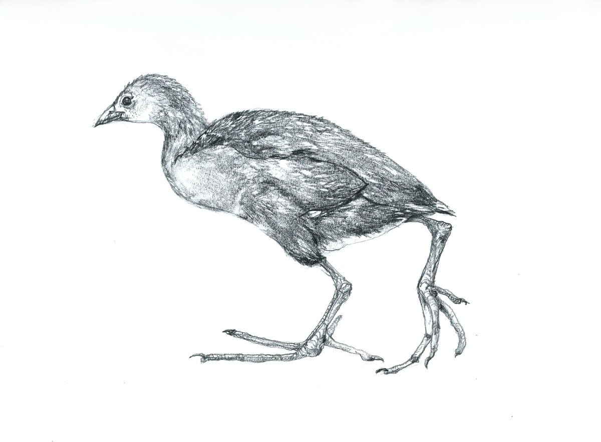 A drawing of a young Moorhen by artist Jilly Cobbe