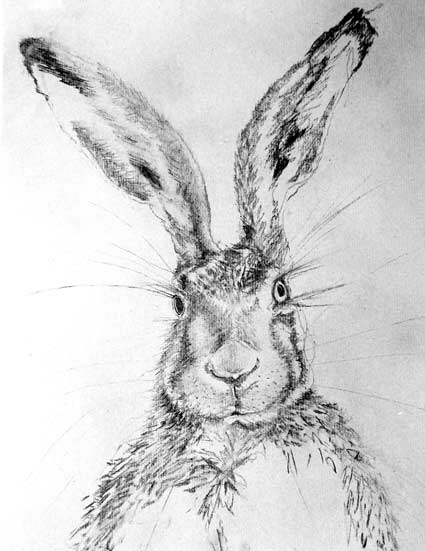 A drawing of a hare's head by artist Jilly Cobbe