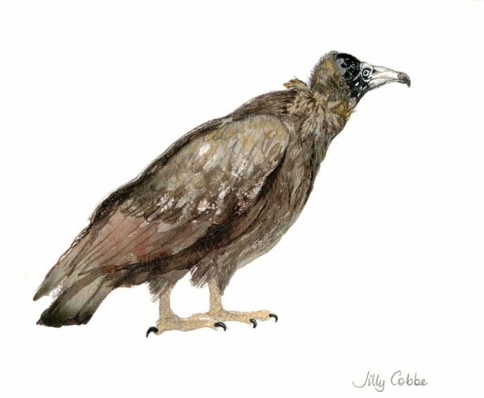 Painting of a Hooded Vulture by Artist Jilly Cobbe