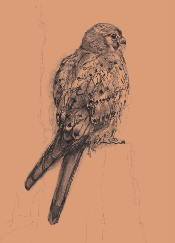 Drawing of a Kestrel by Artist Jilly Cobbe