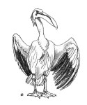 Drawing of a Pelican by artist Jilly Cobbe