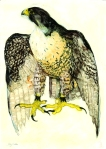 Painting of a Peregrine Falcon by artist Jilly Cobbe