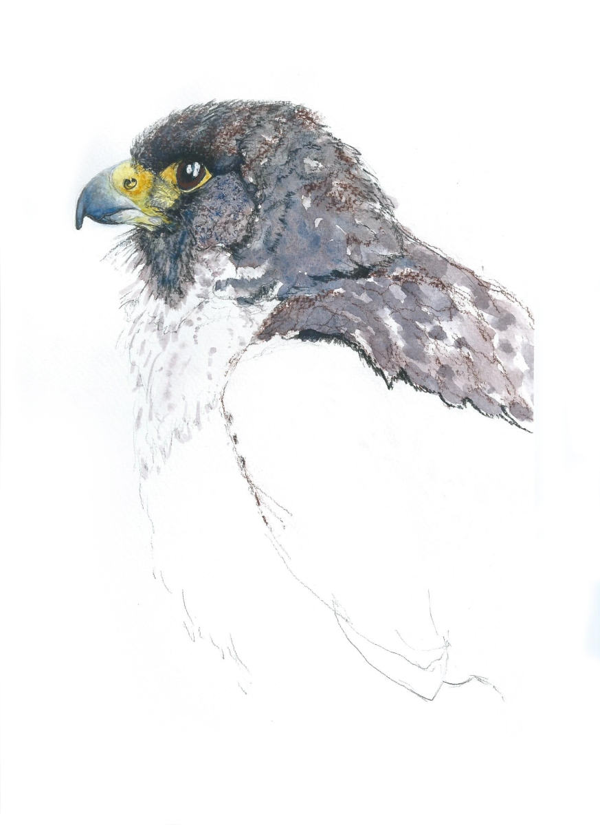 A detailed Painting of a Peregrine Head by artist Jilly Cobbe