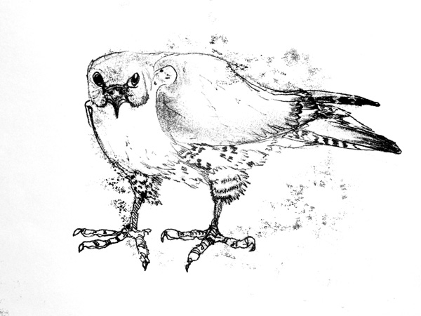 A Drawing of a Peregrine by artist Jilly Cobbe