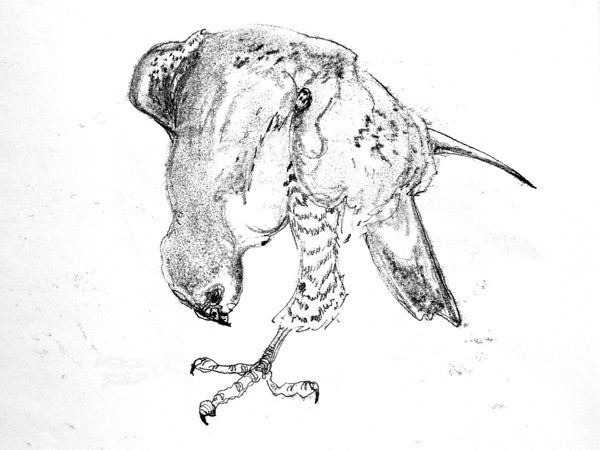 A drawing of a Peregrine in action by artist Jilly Cobbe