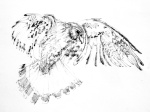 Drawing of a Peregrine in Flight