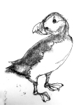 Puffin Bird Art Drawing by artist Jilly Cobbe