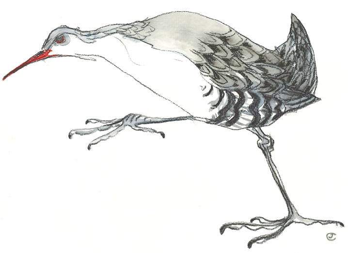 Drawing of a Rail Bird stepping out by artist Jilly Cobbe