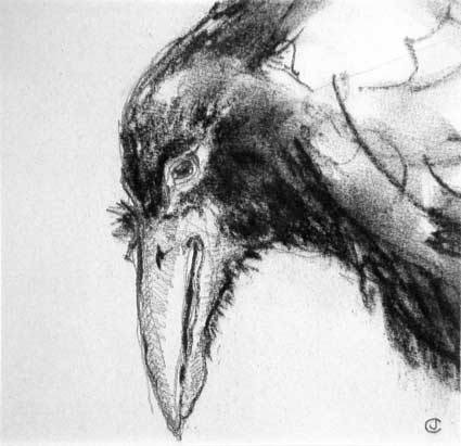 Drawing of a Raven's head in close up by artist Jilly Cobbe