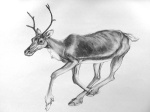 Detailed Drawing of a Deer running by artist Jilly Cobbe
