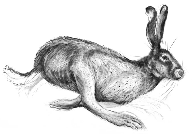 A detailed drawing of a running hare by artist Jilly Cobbe