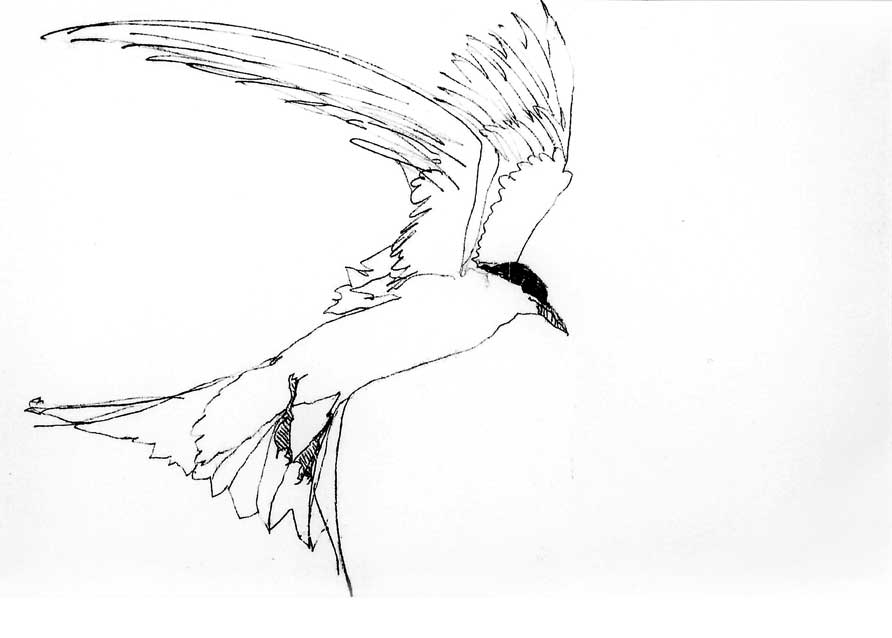 An outline Drawing of a Tern in flight by Artist Jilly Cobbe