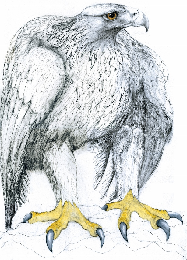 Drawing of an Eagle by artist Jilly Cobbe